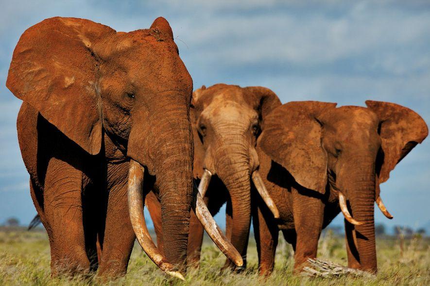 Près de 75 % du commerce d'ivoire en Europe serait illicite