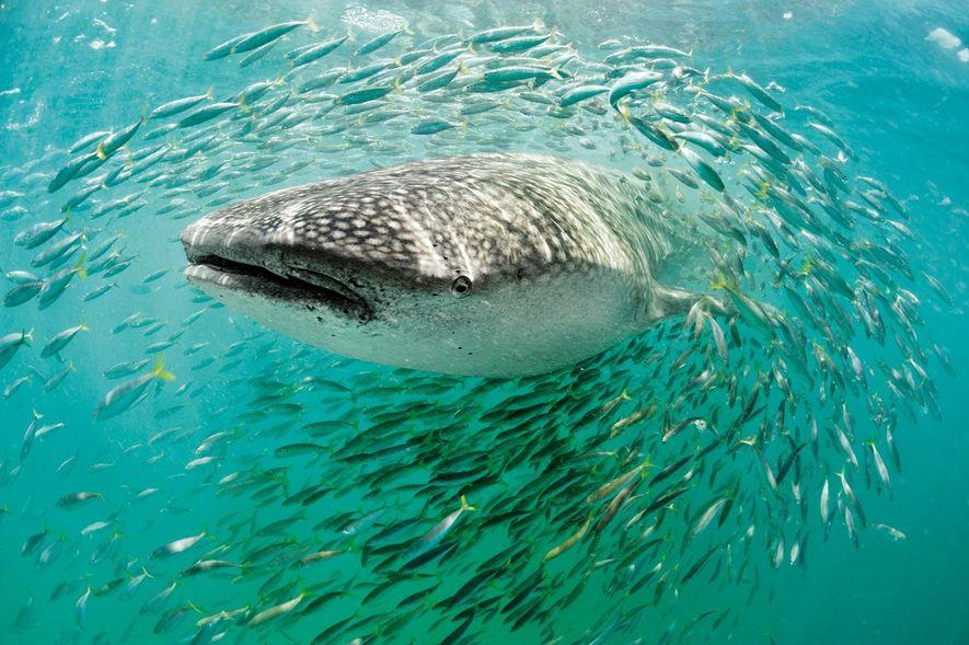 Un requin-baleine, le plus grand des poissons, nage avec du menu fretin au nord de la …