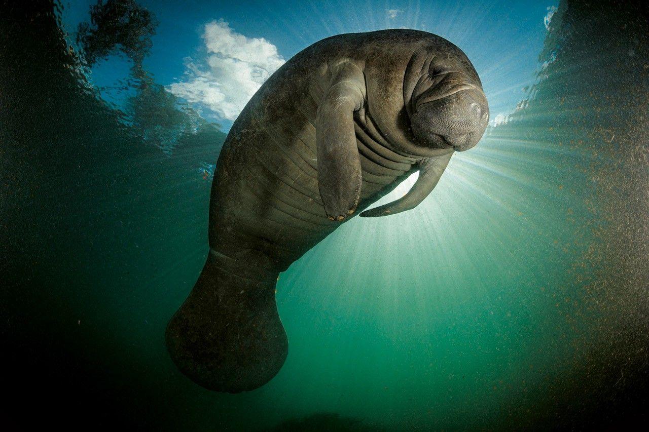 En Floride, la surpopulation menace la survie des lamantins | National Geographic