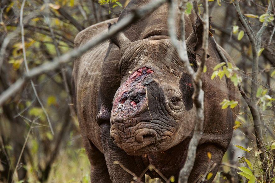 Des gardes-chasse ont trouvé ce rhinocéros noir mâle dans la vallée protégée de Savé, au Zimbabwe, ...