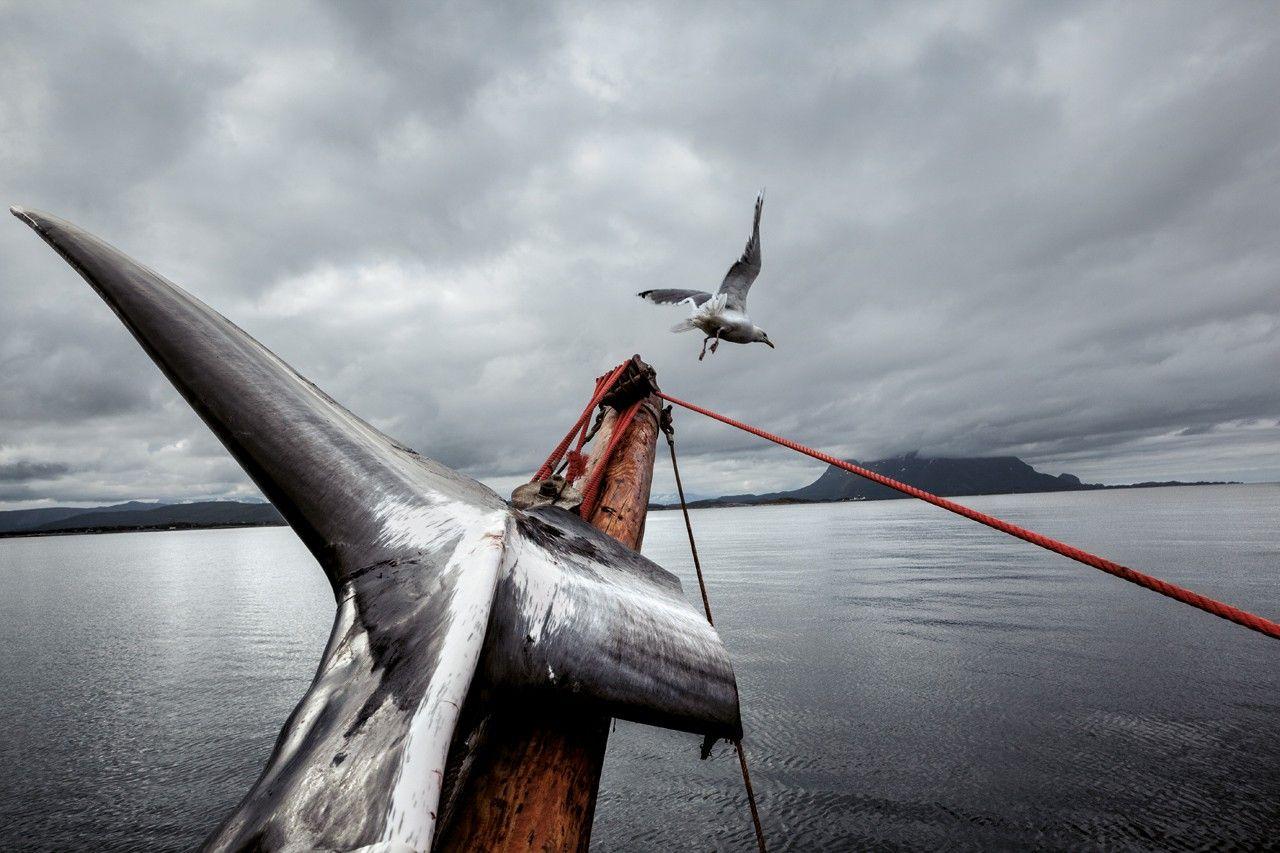Avec les derniers chasseurs de baleines norvégiens   National Geographic