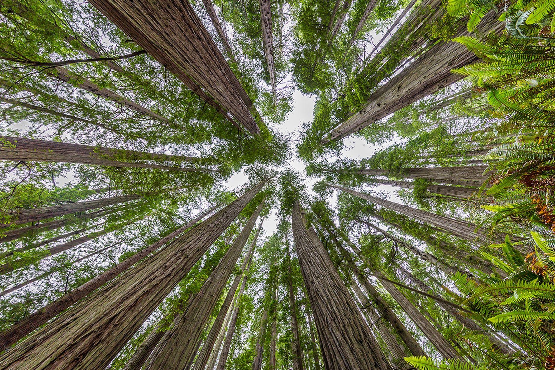 Les plus grands arbres du monde se dressent dans la forêt de Redwood, dans le nord ...