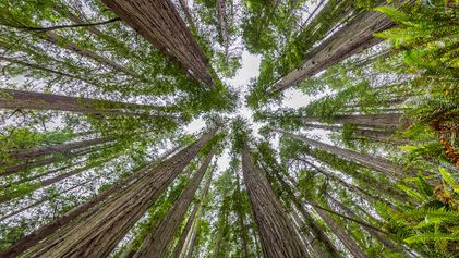Californie : Redwood, le parc de séquoias géants