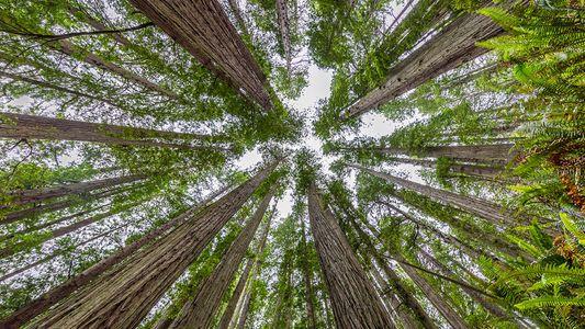 Californie : Redwood, le parc de séquoias géants