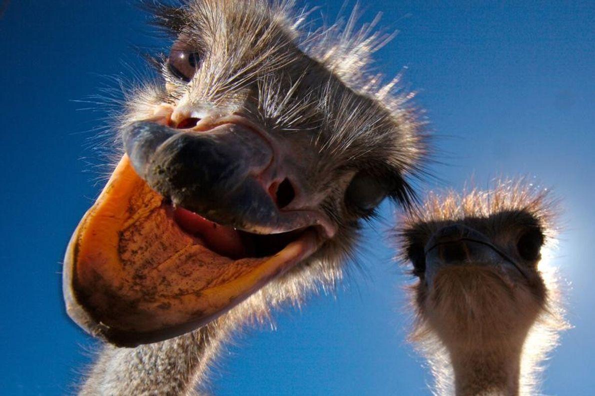 Une autruche d'Afrique, photographiée en Afrique du sud.