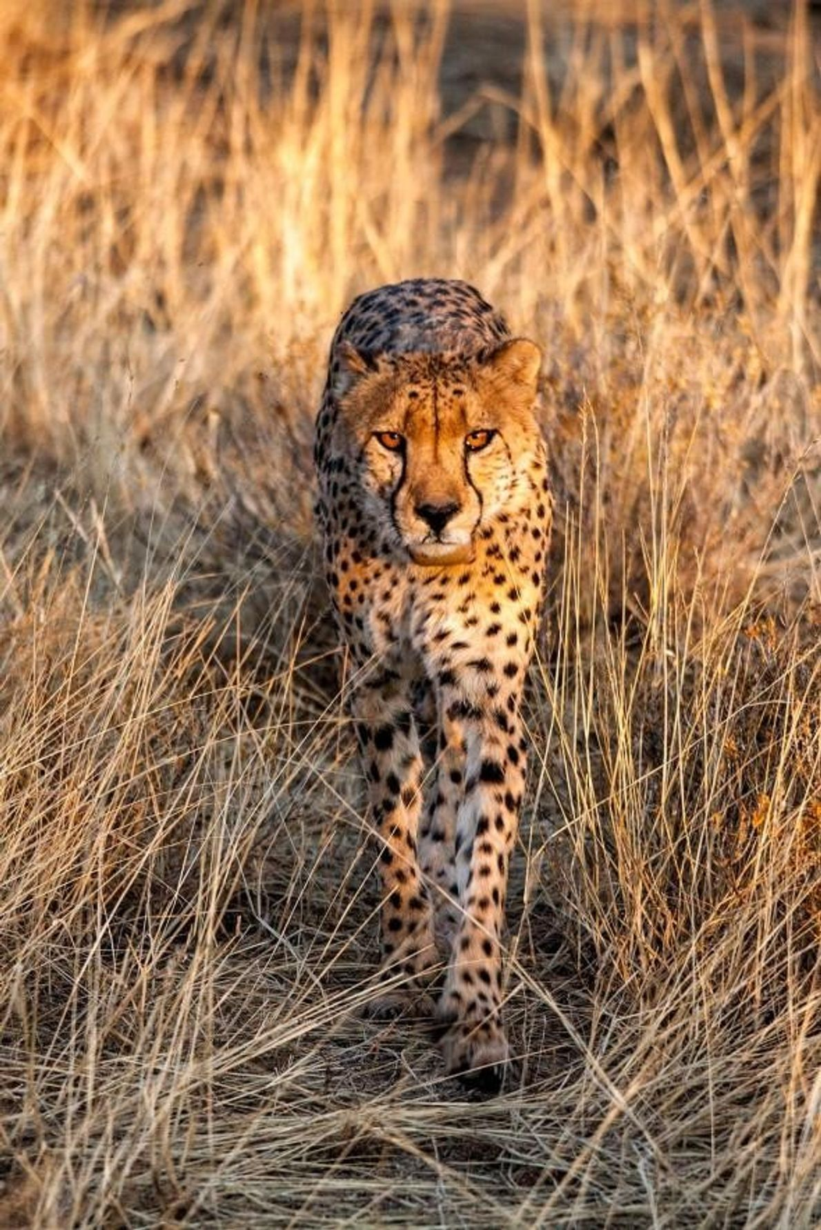 Un guépard marche dans la réserve Erindi Game Reserve d'Otjozondjupa en Namibie.