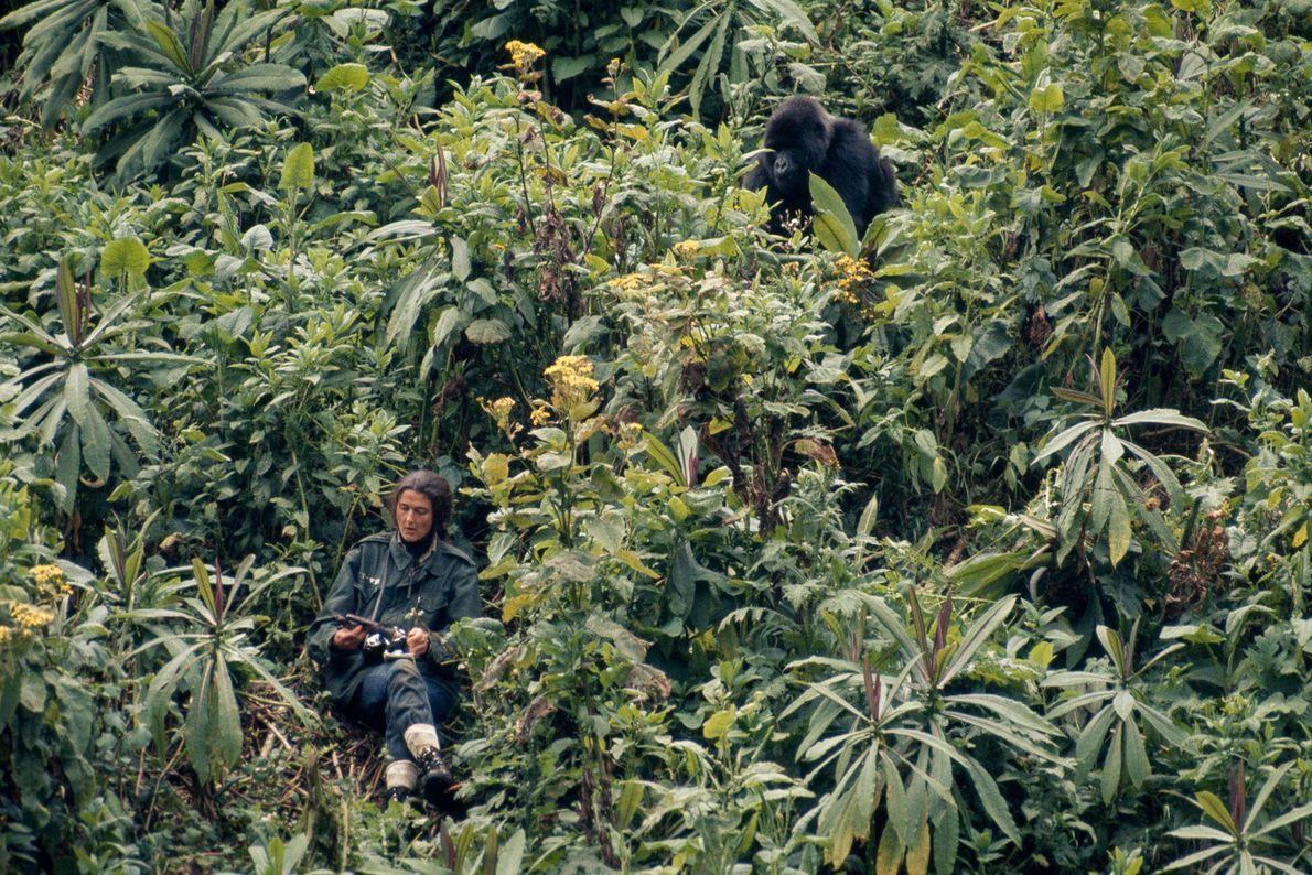 Dian Fossey prend des notes pendant qu'un gorille prénommé Peanuts s'approche d'elle à travers la jungle.