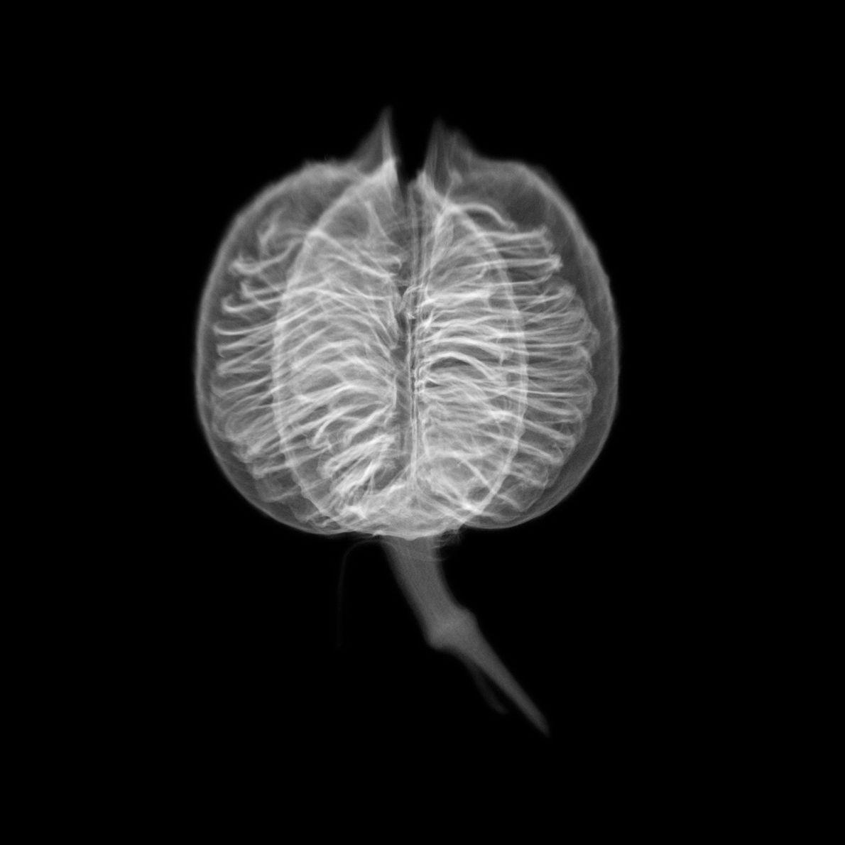 Doherty a créé cette radiographie aux rayons X d'une graine de yucca rouge en raison de ...