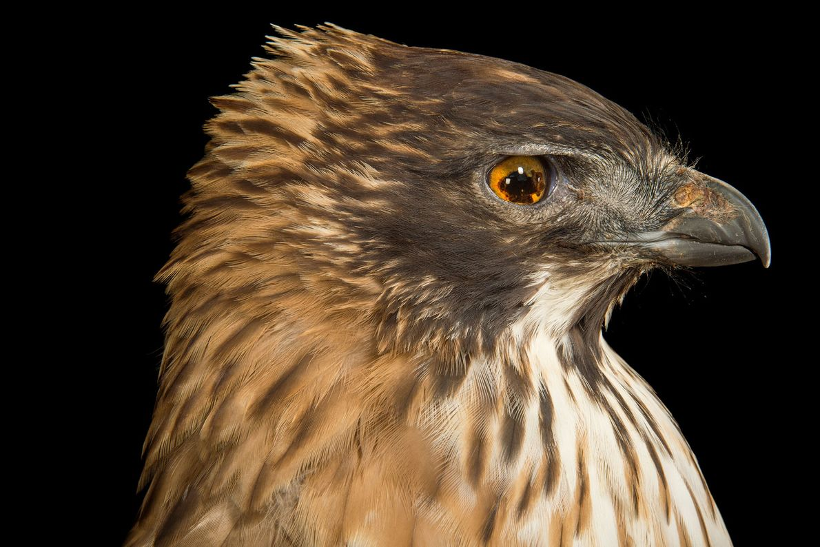 Un aigle montagnard du Japon, Spizaetus nipalensis orientalis, pris en photo au zoo de Los Angeles. ...