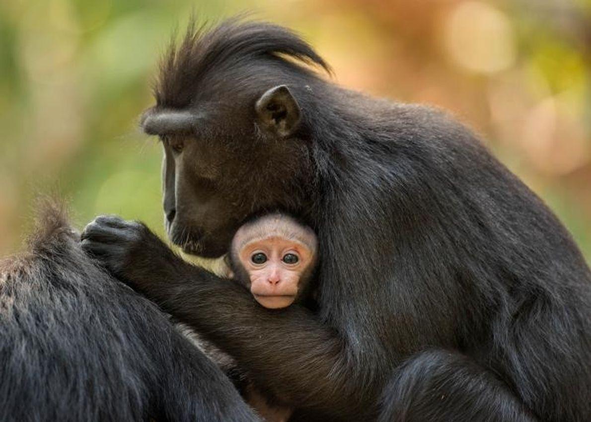 Les femelles macaques mettent bas tous les 20 mois. Les petits sont allaités pendant moins d'un ...