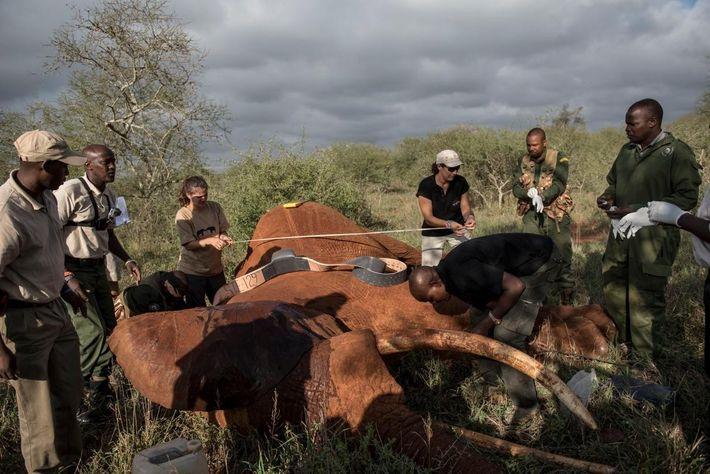 L'équipe se prépare à mettre un collier électronique sur un éléphant de savane de 25 ans ...