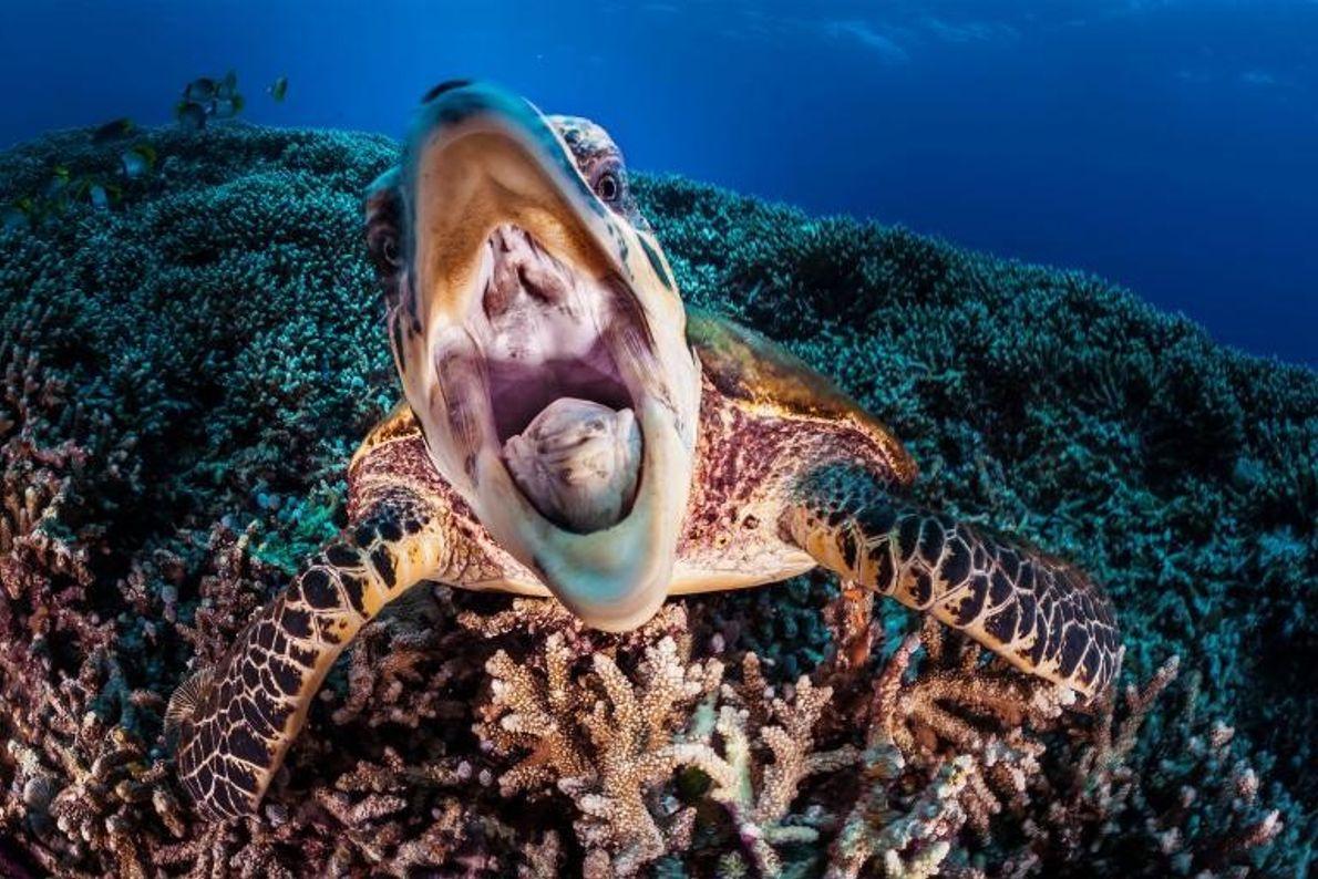 Curieuse, cette tortue de mer semble communiquer avec le photographe. Le récif de Tubbataha abrite des ...