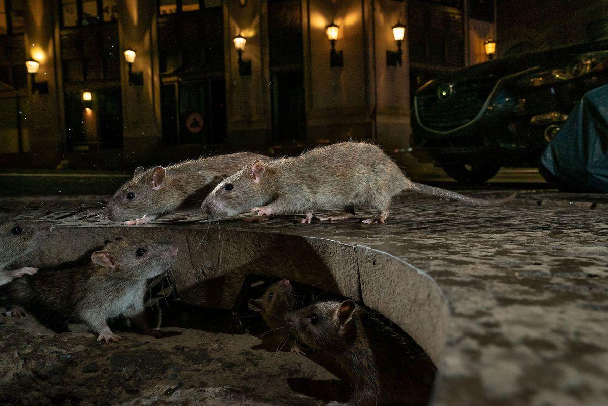 """Charlie Hamilton James s'est distingué dans la catégorie """"faune urbaine"""" avec son portrait intime de rats ..."""