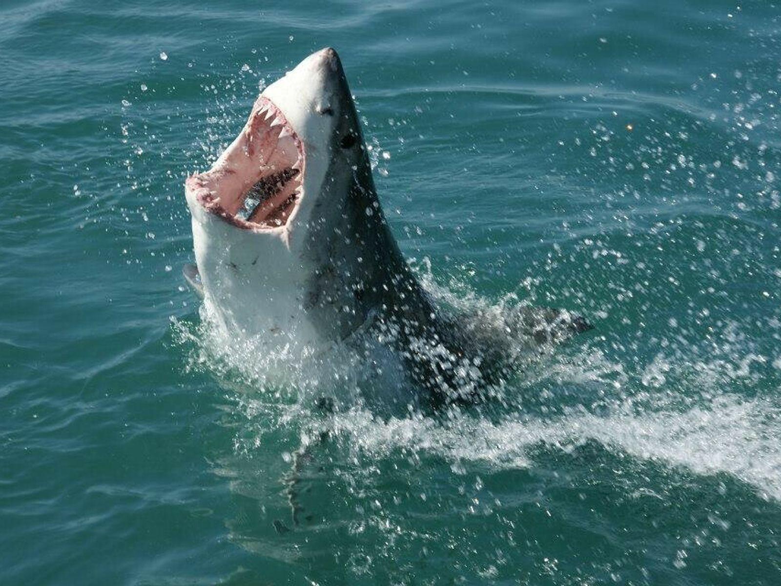Requin blanc.