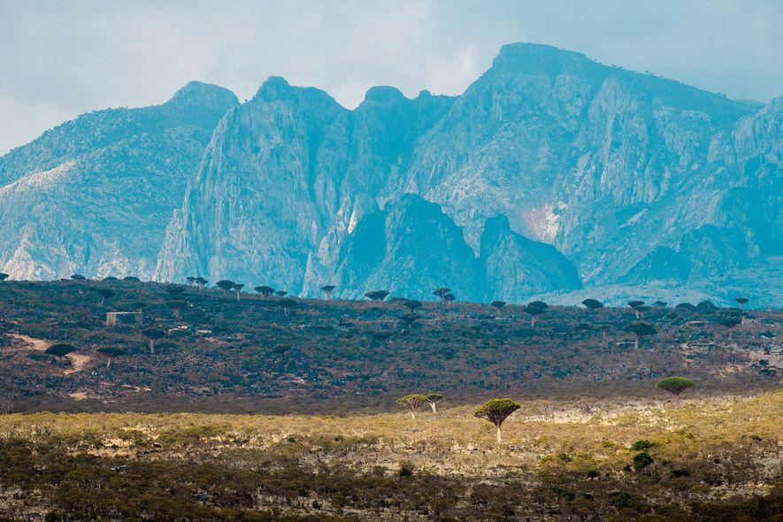 À l'intérieur des terres de Socotra, le plateau de Diksum abrite la plus grande population de ...