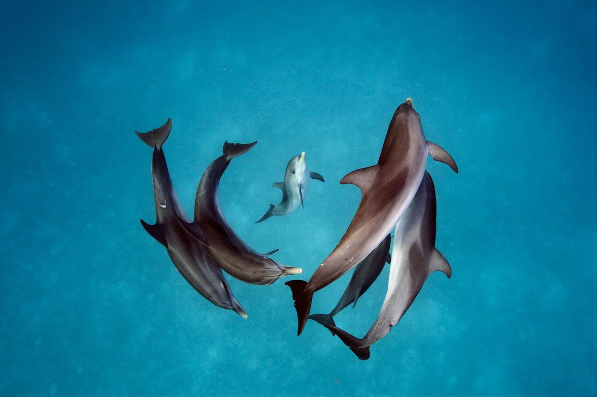 Depuis désormais 30 ans, les scientifiques tentent de comprendre comment ces dauphins tachetés de l'Atlantique (Stenella ...