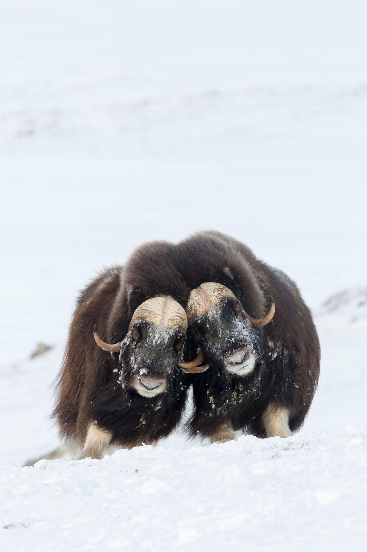 Deux bœufs musqués s'entrechoquent en Norvège.