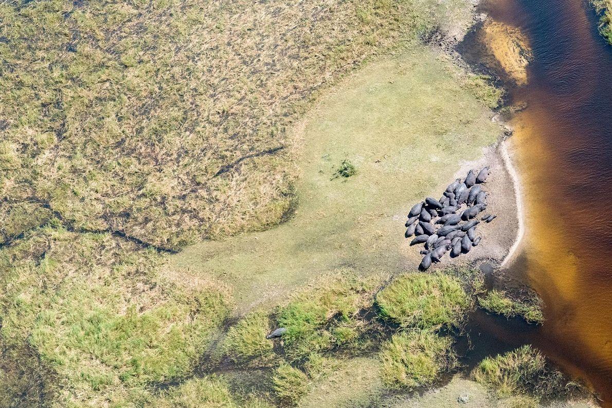 Des hippopotames photographiés à Moremi, dans le District central du Botswana.