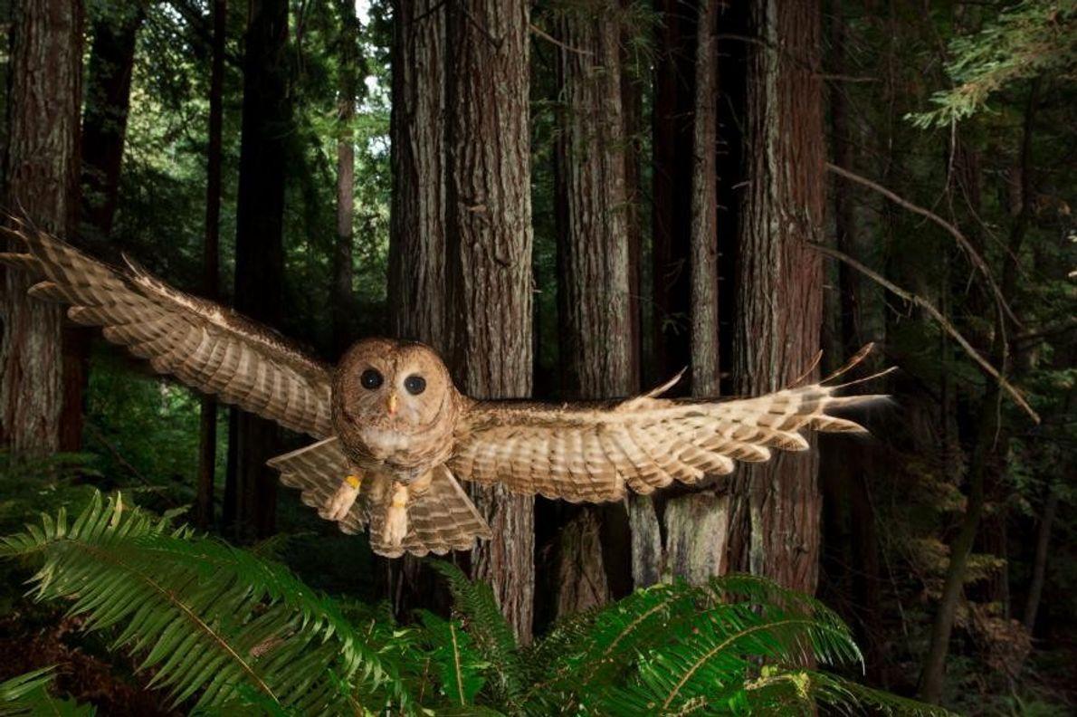 Une chouette tachetée du nord dans le parc national de Redwood, en Californie.