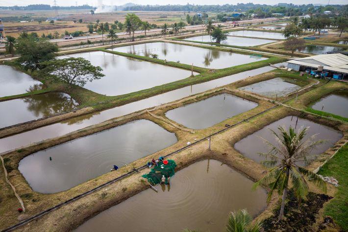 Élevage de Cyprinidae dans une ferme piscicole tenue par l'État. Les aires d'alevinage à Tonlé Sap ...