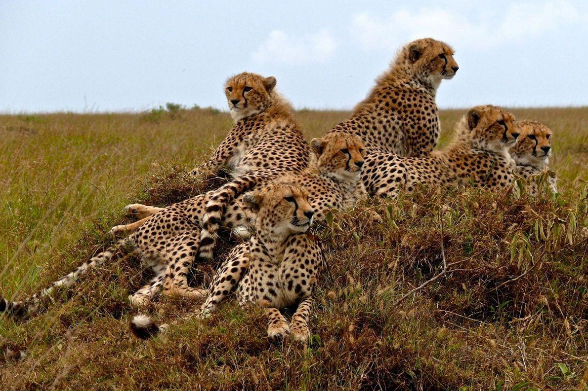 Une mère guépard et ses petits se reposent après une tempête dans la réserve nationale de ...