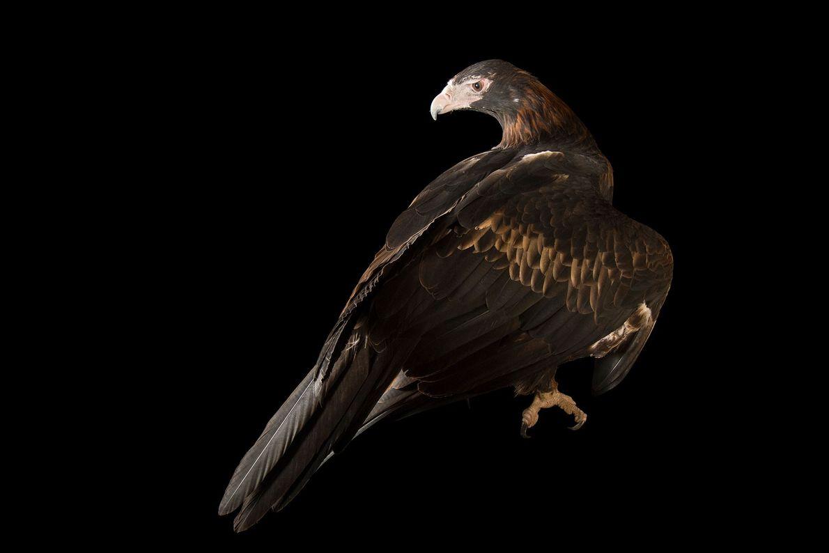 Un Uraète ou aigle d'Australie, Aquila audax, de la réserve d'Healesville. Ces rapaces sont les plus ...