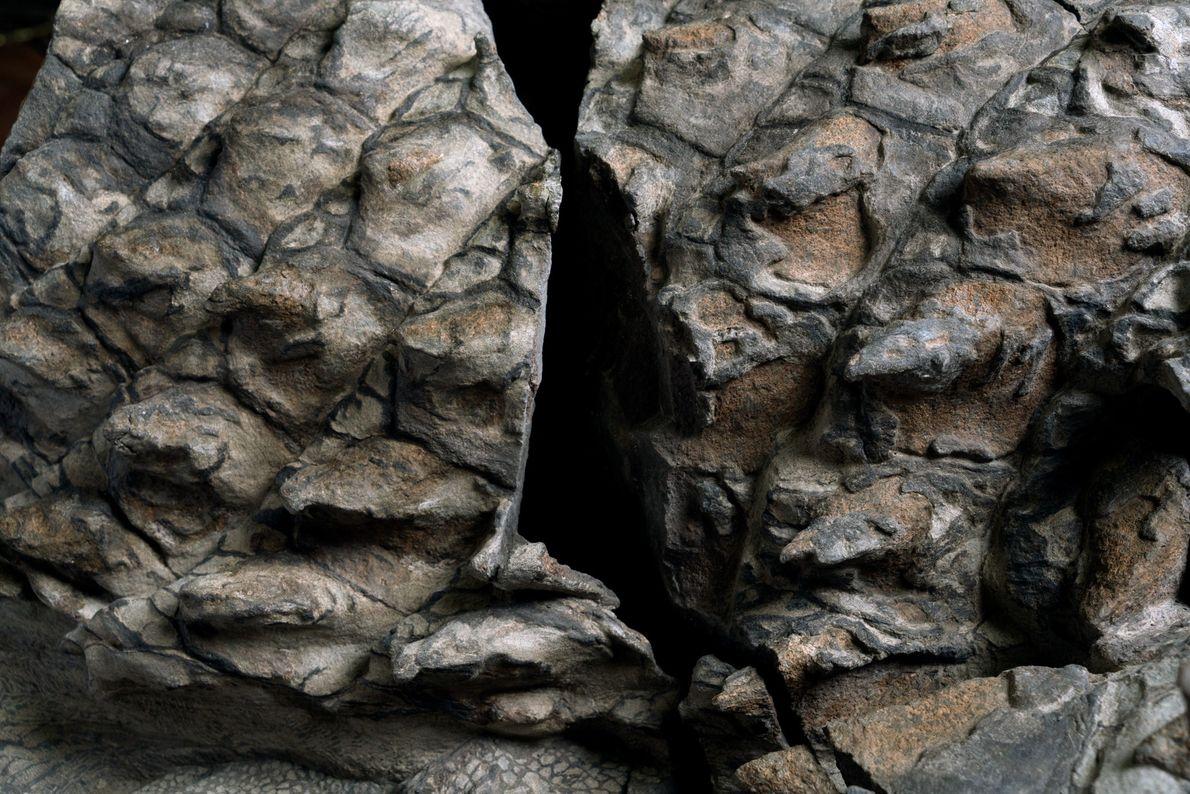 De nombreuses plaques qui composent l'armure aux teintes cuivrées du nodosaure ont conservé des gaines qui ...