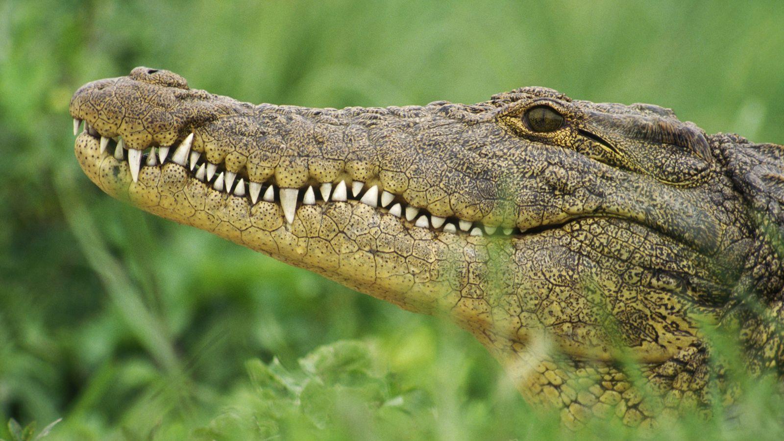 Le crocodile du Nil est l'un des plus grands crocodiliens du monde, mesurant en moyenne 4 ...