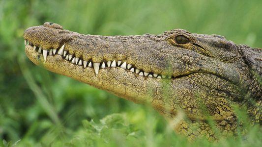 Crocodile, alligator, caïman : quelles différences ?