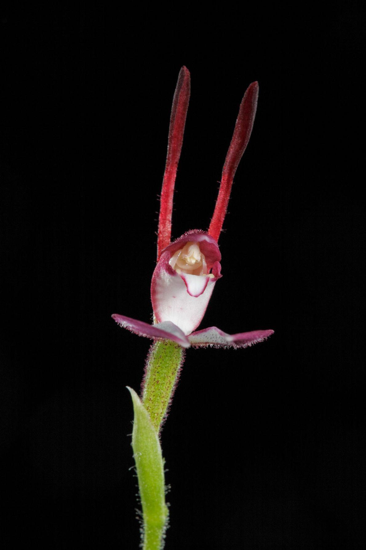 L'Eriochilus pousse en Australie.