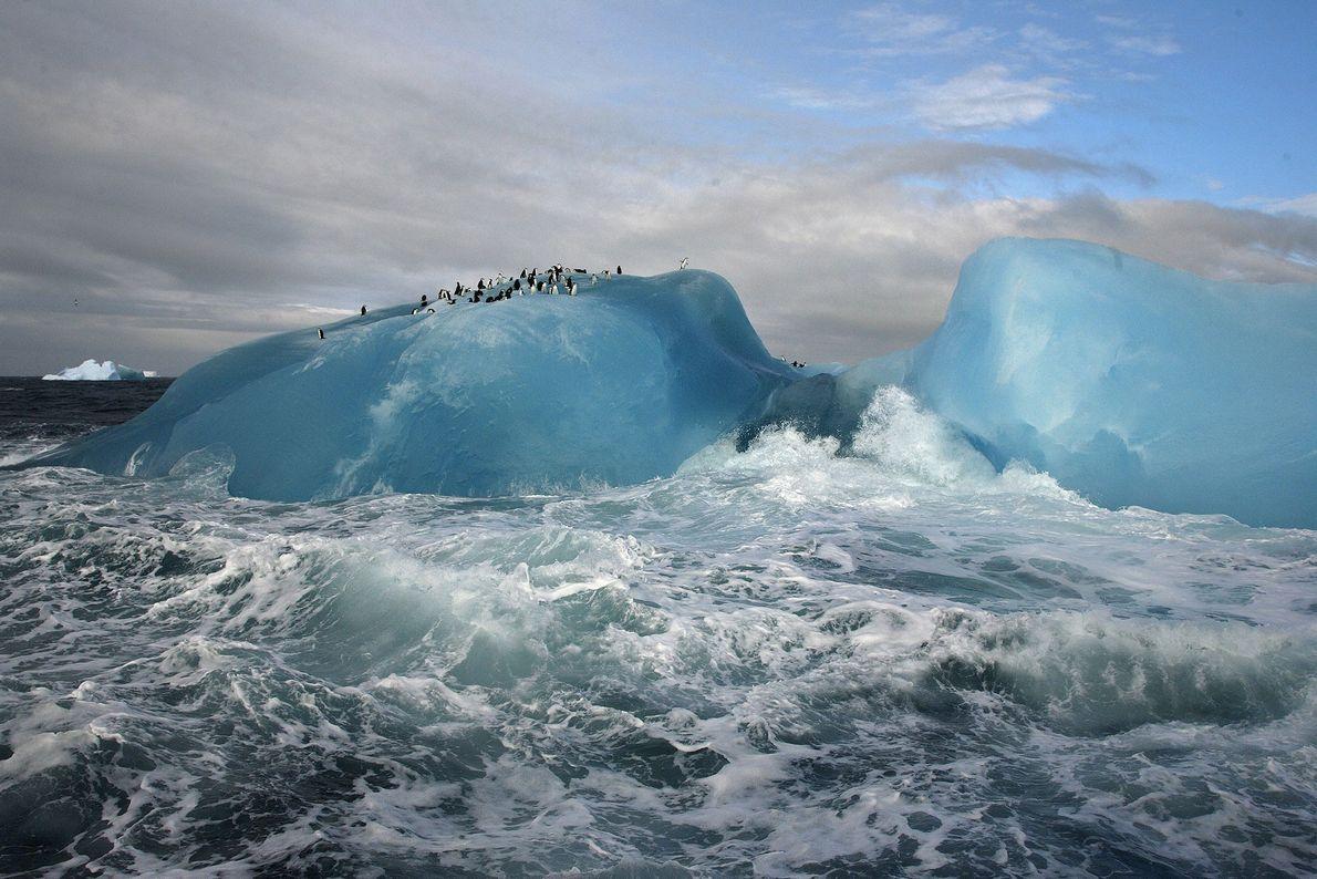 Des manchots à jugulaire prennent une pause au sommet d'un iceberg bleu près de l'Île Candlemas, ...