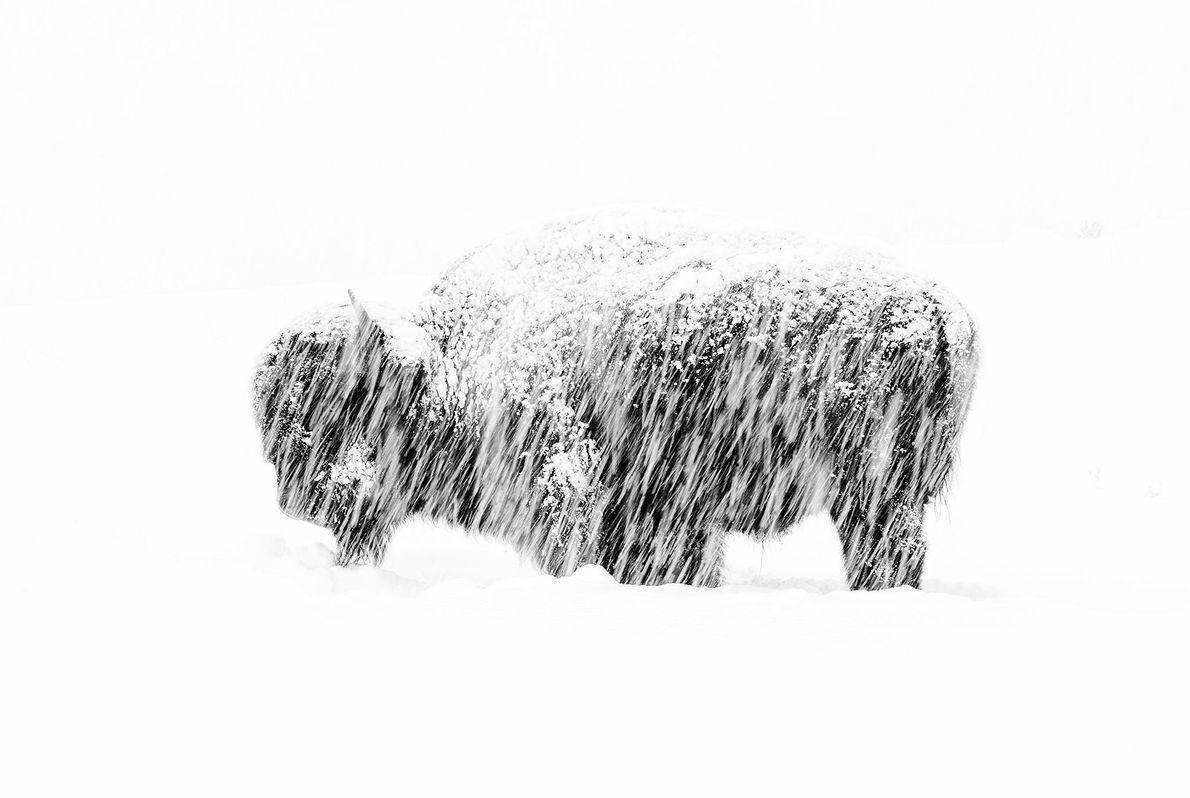 Cette photo d'un bison solitaire lors d'une tempête de neige dans le parc national de Yellowstone ...