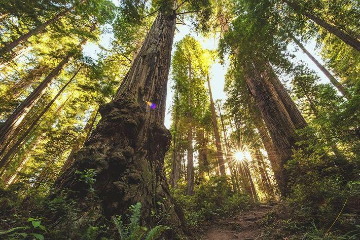 Les arbres du parc national de Redwood ont servi de décors à la forêt de la ...