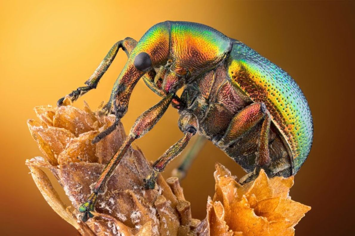 Protégé par une carapace polychrome et réfléchissante, ce cigarier (Byctiscus betulae) escalade une plante sous l'œil ...