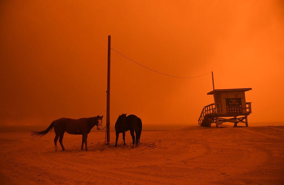 Sur ce cliché du 9 novembre, des chevaux sont attachés à un poteau sur une plage ...