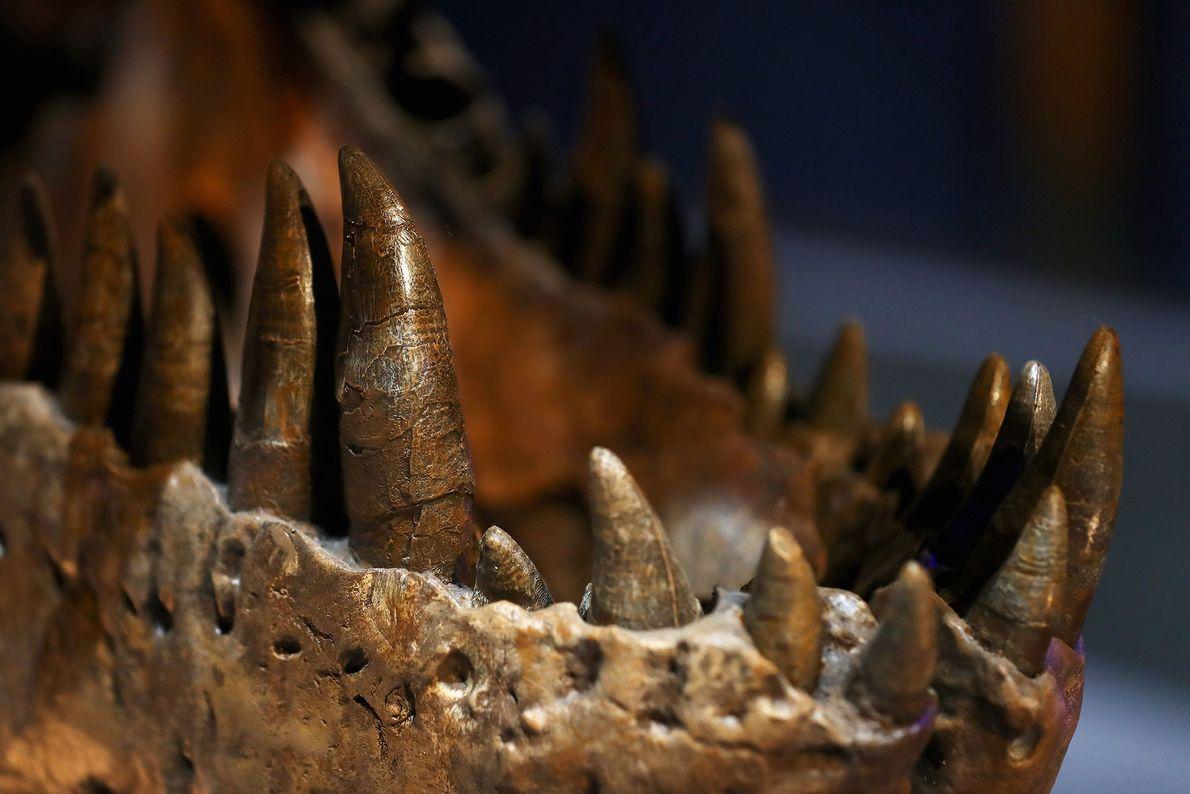 Ce gros plan montre les dents impressionnantes qui composent la mâchoire d'une femelle Tyrannosaurus rex baptisée ...