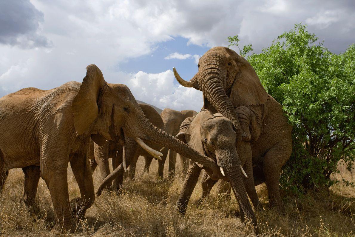 L'accouplement des éléphants peut provoquer un véritable tumulte.
