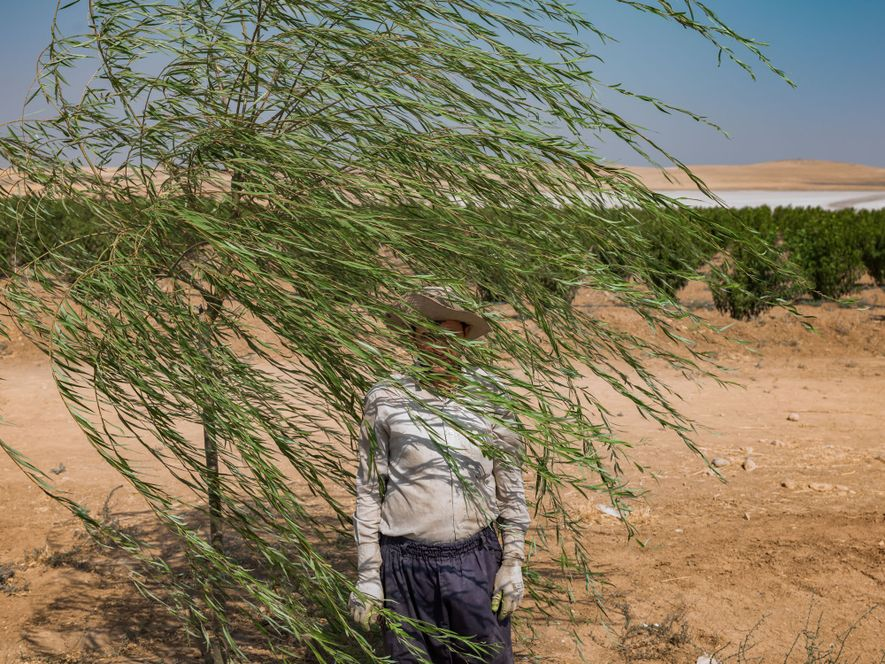 Reza Manafzadeh travaille dans une ferme fruitière située au bord du lac salé. Pour irriguer les ...