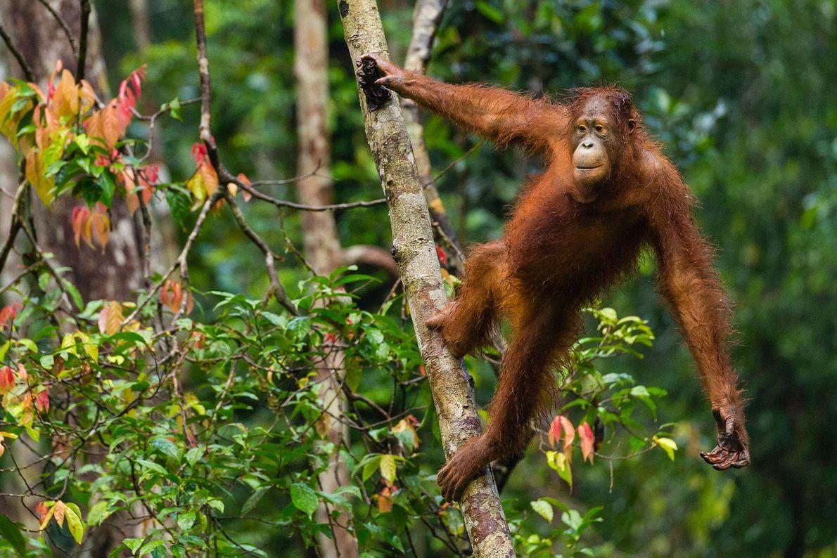 Une femelle orang-outan surveille les alentours au Camp Leakeyu. Alors que les tigres et les pythons ...