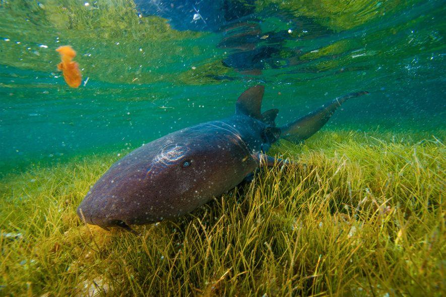 Un requin-nourrice explore un herbier marin au large du monument naturel de Half Moon Cay.