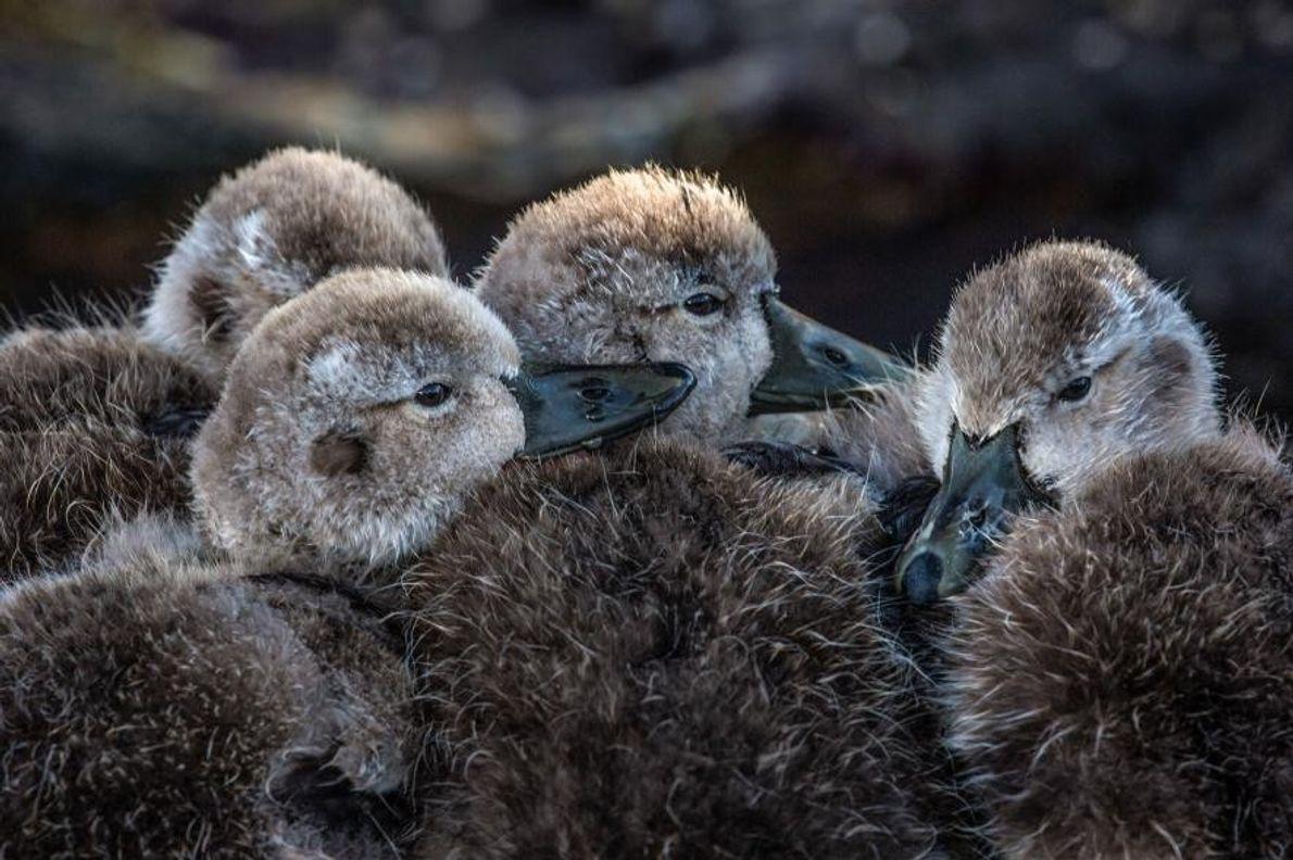 Quatre canards se blottissent les contre les autre dans les îles Falkland.