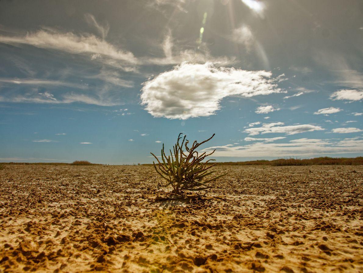 La nature s'adapte, survie, patiente dans cette fournaise. La salicorne est une espèce dotée d'une grande ...
