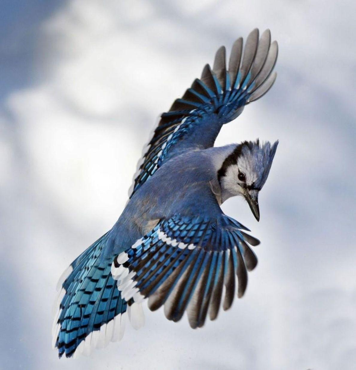 Un geai bleu.