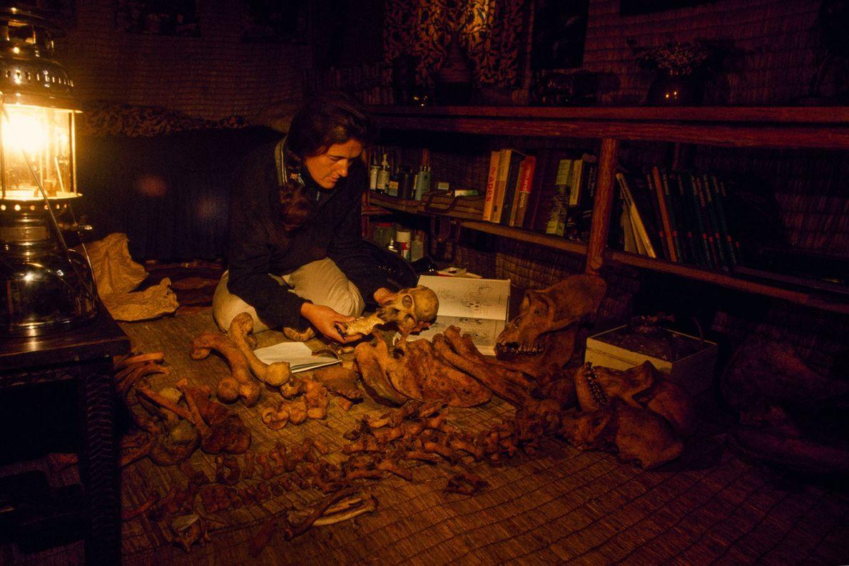 Dian Fossey conservait de nombreux os et crânes de gorilles pour ses recherches et en a ...