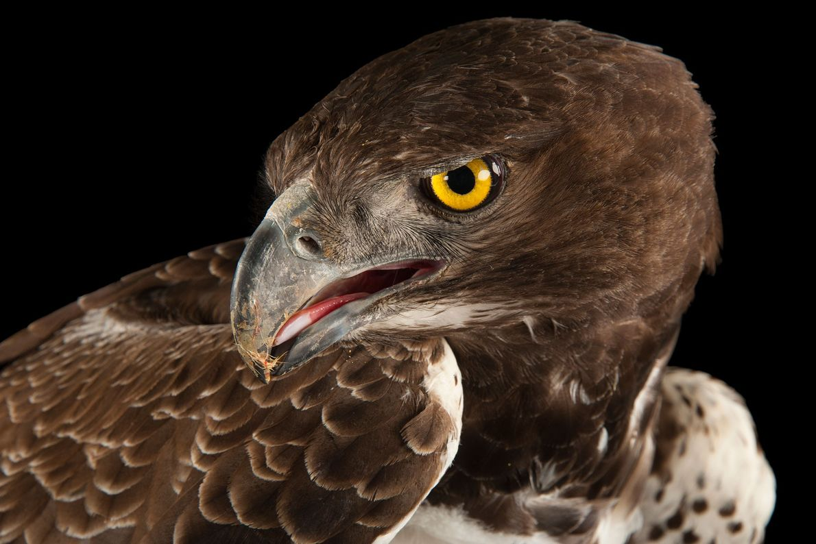 Un aigle martial, Polemaetus bellicosus, du zoo Tampa dans le Lowry Park de Floride, aux États-Unis. ...