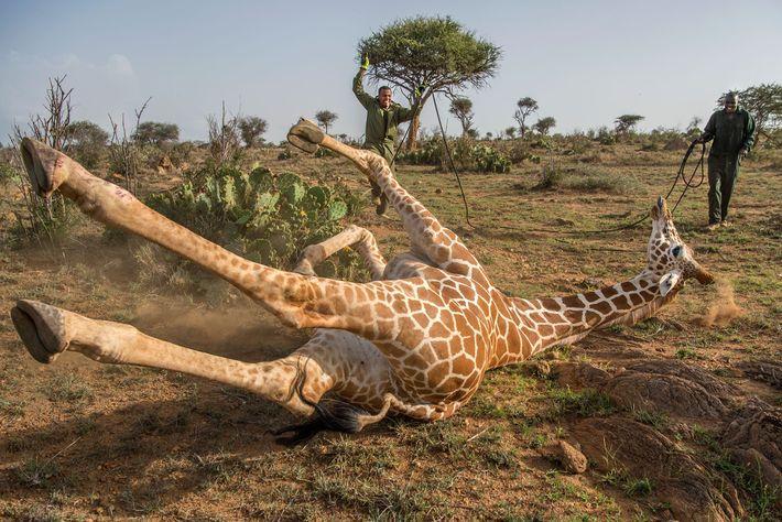 Les gardes-forestiers du Service de la faune kényan ont attendu que le calmant fasse effet. Après ...
