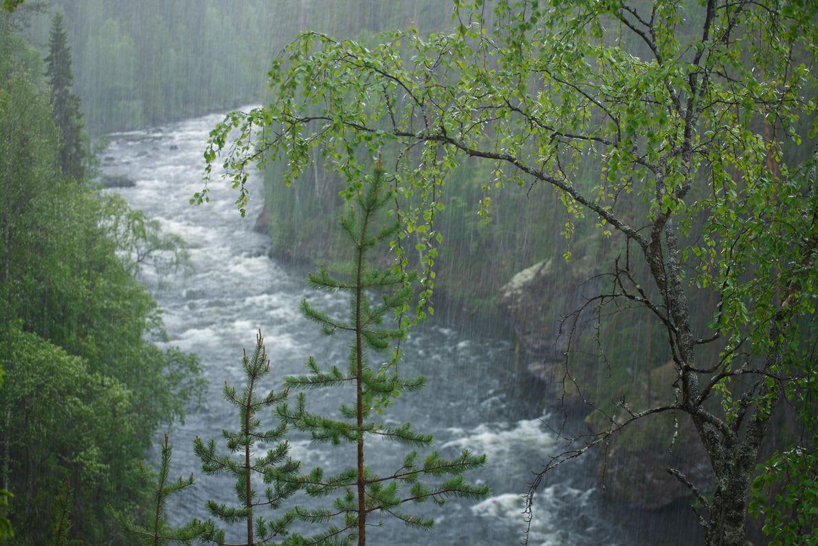 Oulanka connaît deux saisons : un mois de juin pluvieux et un mois d'avril neigeux. Derrière ...