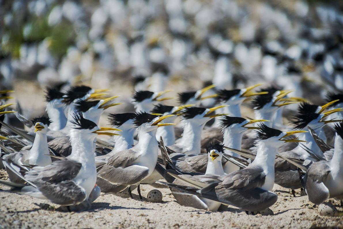 Des sternes huppées (Thalasseus bergii) nichent sur Bird Islet, sur l'atoll de North Reef, dans le ...