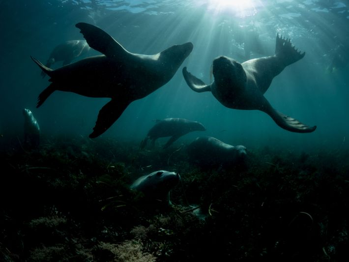 Espèce menacée d'extinction, ces lions de mer australiens s'amusent dans les eaux de l'Hopkins Island, dans ...