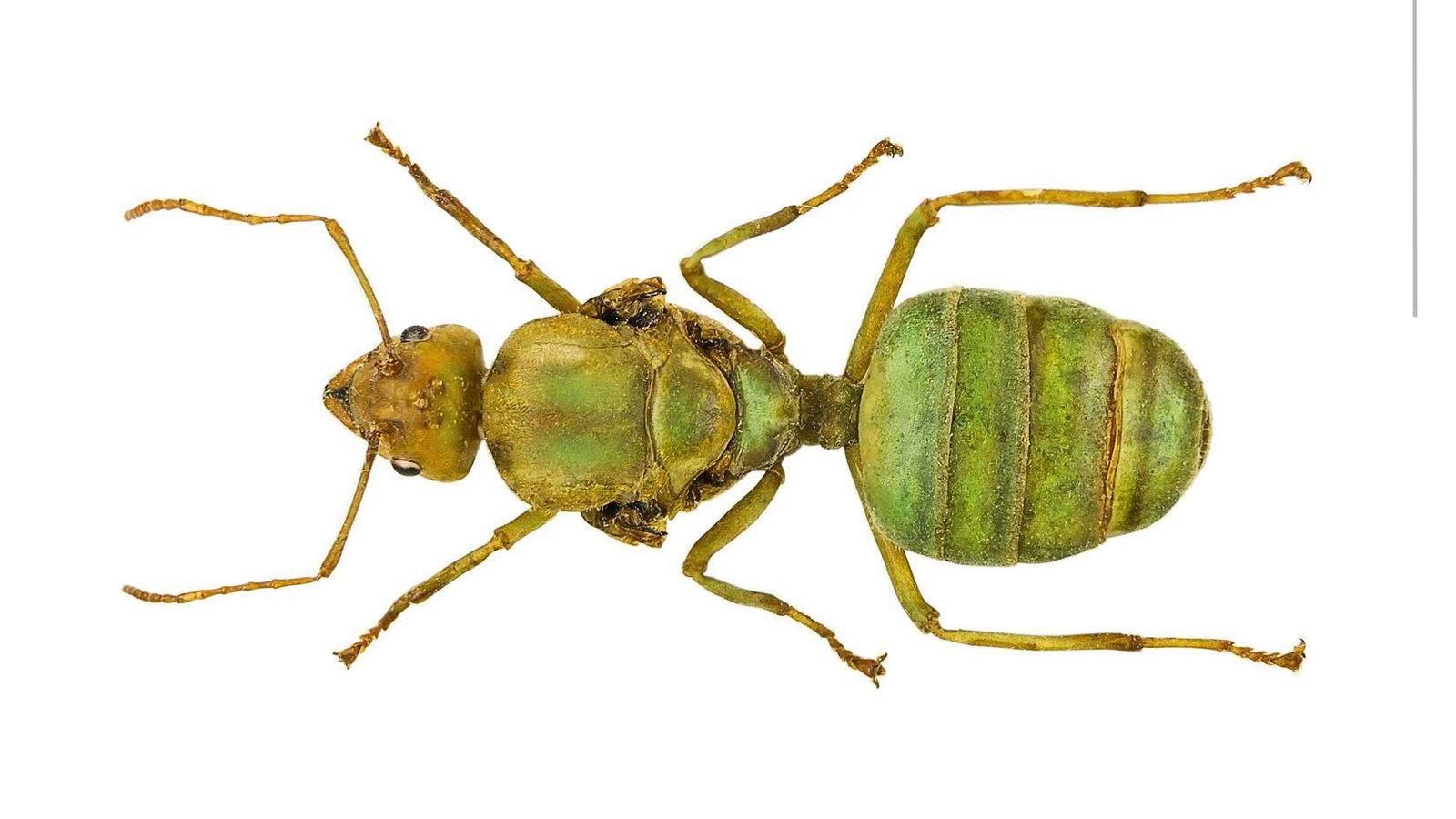 Une reine des fourmis tisserandes de l'espèce O.smaragdina, trouvée dans la mangrove de Phuket, en Thaïlande.